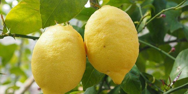 Le citron, un agrume parfait à toujours avoir à la maison