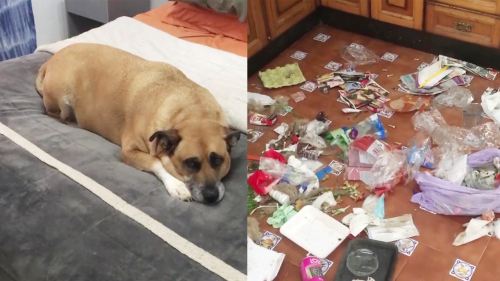 'Dog's Adorable Reaction on being Found Guilty of Destroying the Kitchen'