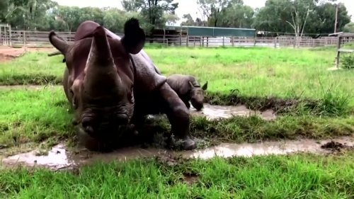 Baby rhino enjoys first mud bath at Australian zoo
