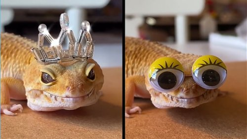 Gecko Lives That Totally Fab Life