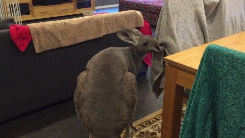 Kangaroo Watches AFL Football on TV