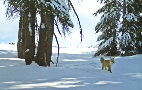 Sierra Nevada red fox to be listed as federally endangered