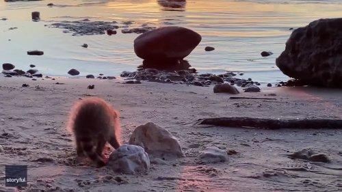 Adorable Baby Raccoon Stumbles Around Wisconsin Lakeshore