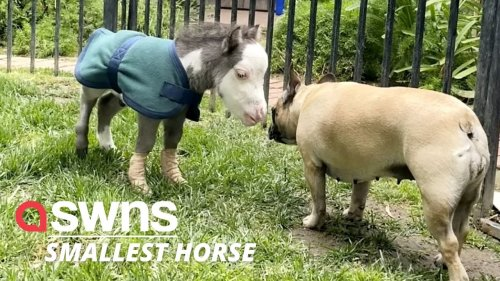 Dinky horse abandoned by his mother now lives a happy life with three other dogs