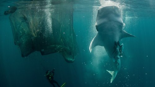 How Do Divers Rescue Bus-Sized Whale Sharks?