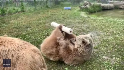 Hard-Working Bears Paw and Scratch to Get Treats Out of Toy