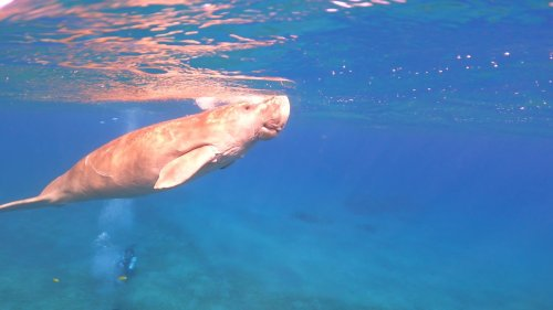 Daring divers swim with mammoth dugong in Red Sea, Egypt