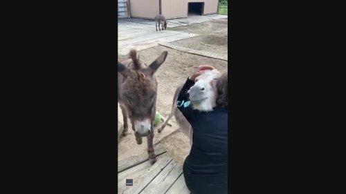 Spreading the Love: Man Enjoys Cuddle Time with Donkeys at Ohio Farm