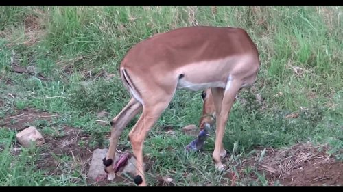 Antelope eats her placenta after birth