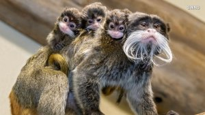 The World's Oldest Zoo Welcomes These Adorable Triplet Baby Monkeys