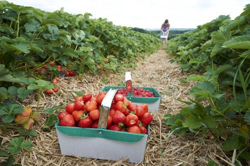 Strawberry picking: our guide to the best places in the UK