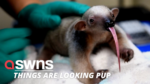Watch as this adorable baby tamandua takes its first steps