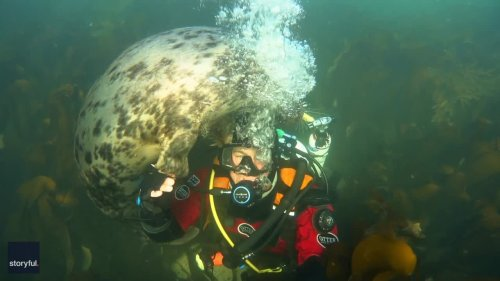 Clingy Seal Holds Hands With Diver Underwater
