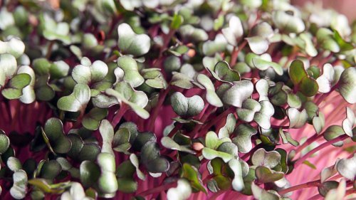 Grow Your Own Healthy Microgreens