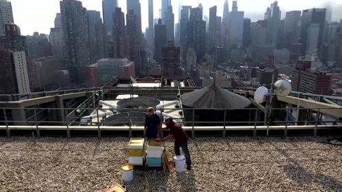 Beekeeper harvests honey on New York rooftops