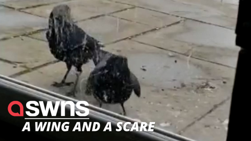 """Shop owner said her store is being """"terrorised"""" by two aggressive CROWS - RAW"""
