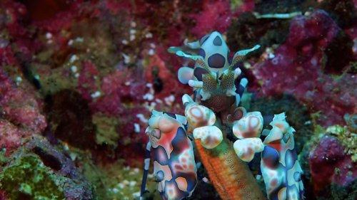 Harlequin shrimp feasts on starfish