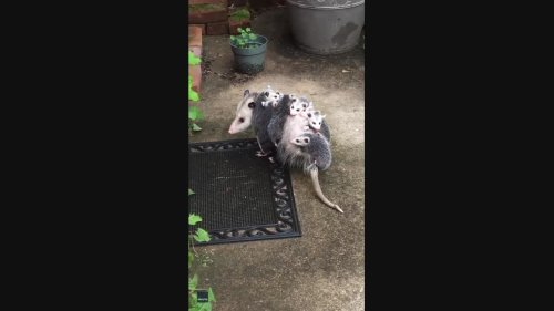 Opossum Babies Hitch Ride on Mom's Back in Pennsylvania Backyard
