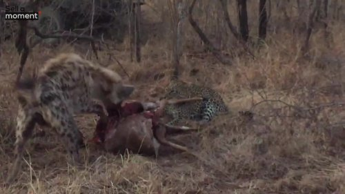 Leopard and Hyena Tussle Over Prey