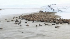 Amazing Drone Video Shows Thousands of Threatened Walruses