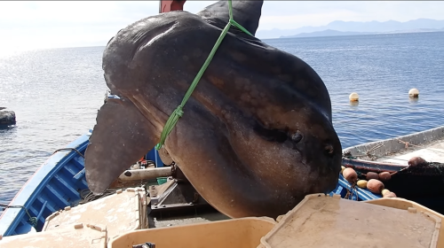 Researchers needed a crane to pull this massive 2-ton beast out of the sea