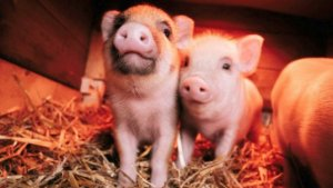 This Video of Baby Piglets Playing Around is the Cutest Thing You'll See All Day!