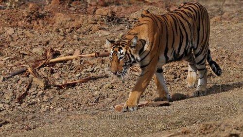 Thirsty Tigress walks to waterhole