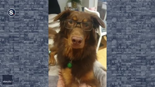 Dashing Dog Tries Out New Glasses