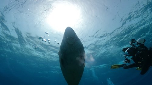 Scuba Divers Swim With Dugong
