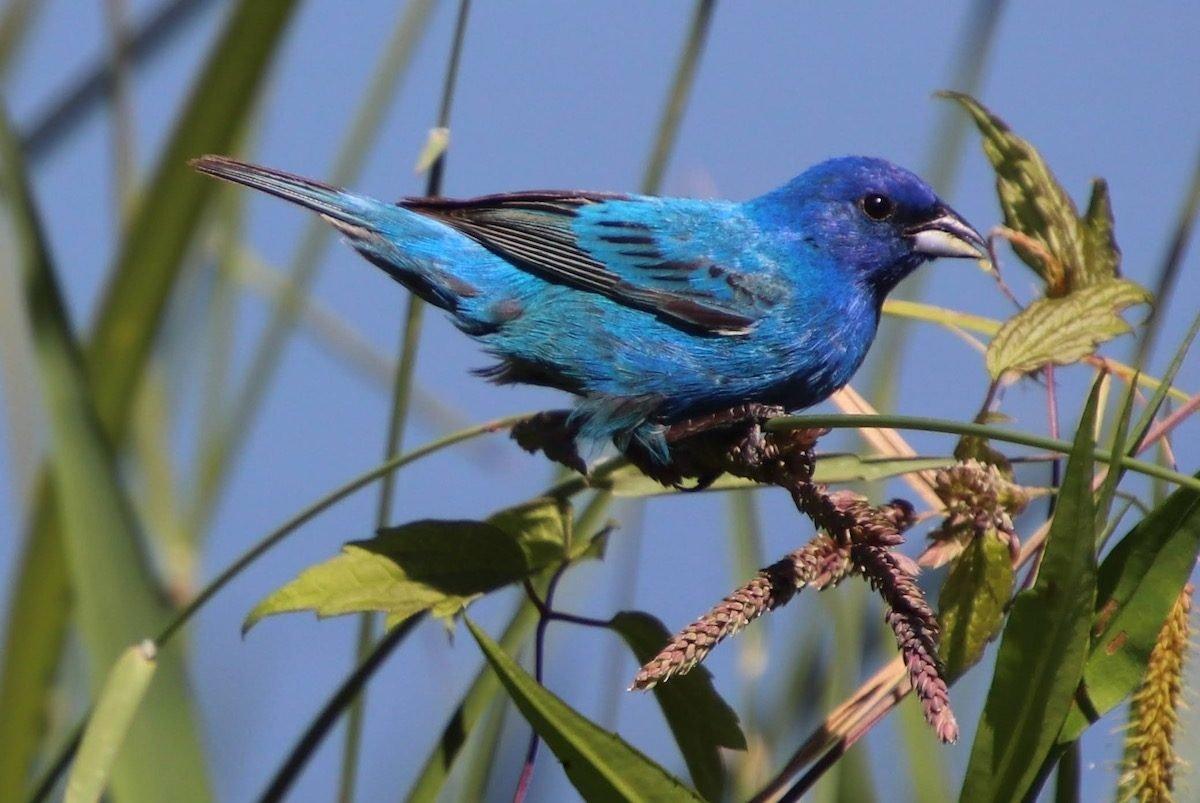Attract Beautiful Indigo, Lazuli and Painted Buntings