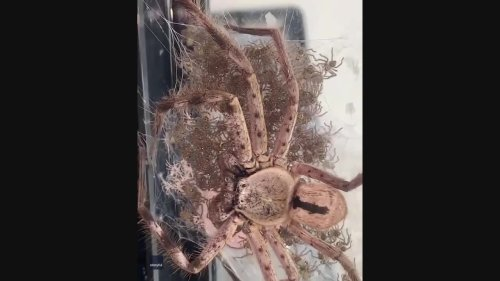 Huntsman Spider Watches Over Hatchlings at Queensland Home