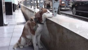 This Adorable Husky Waits for His Owner to Finish Work Every Day!