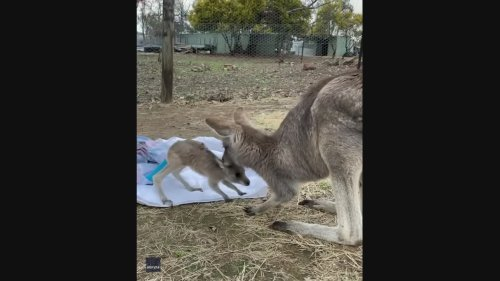 Kangaroo Joey With Injured Tail Reunited With Mother