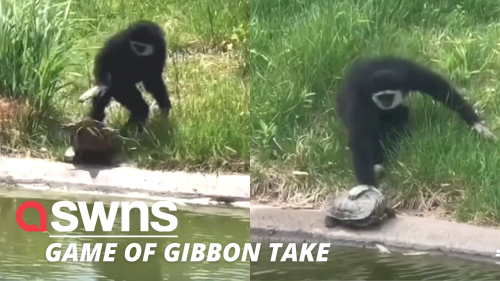 Watch the hilarious moment a cheeky gibbon pushes unsuspecting turtles into a pond (RAW)
