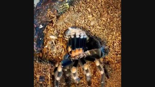 Pet Tarantula's Molting Process Captured in Mesmerizing Timelapse