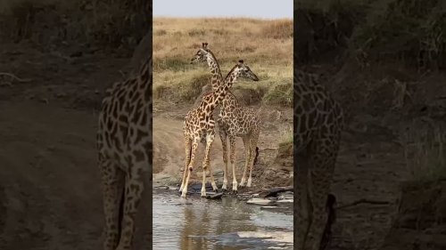 Two Giraffes Stare At Camera