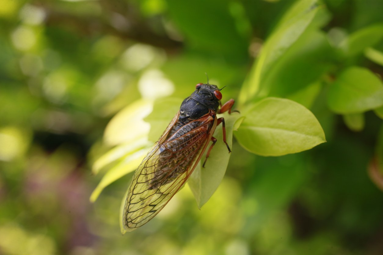 Everything You Need to Know About the Great Cicada Emergence
