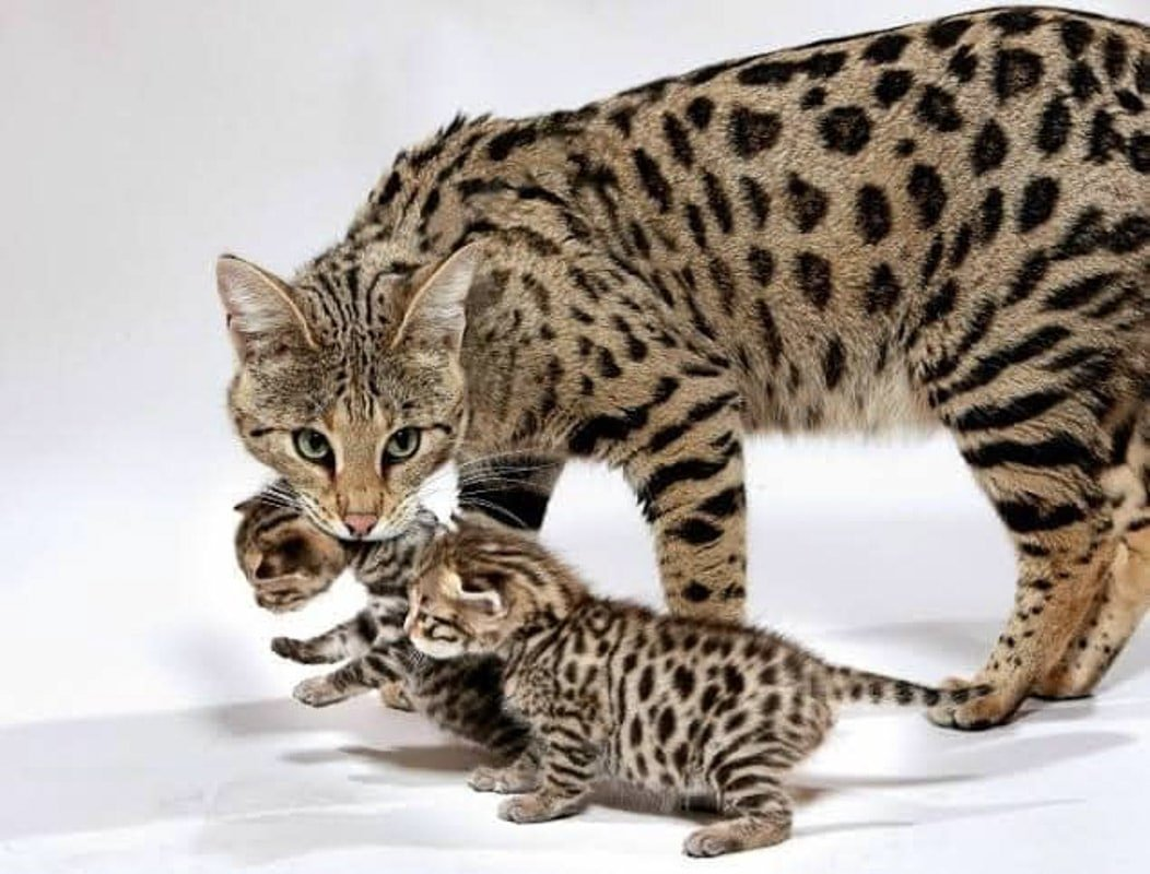 23 Most Expensive Cat Breeds in the World