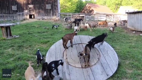 Baby Goats in a Spin as They Enjoy Farmyard Obstacles