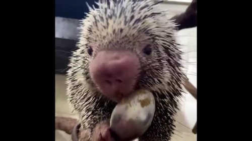 Porcupine Rico and his peanut butter treat