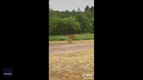 Deer Friend: Pit Bull Plays With New Pal on Minnesota Property