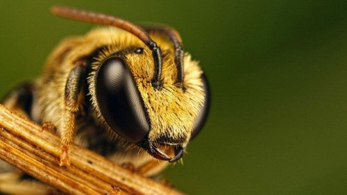 Honeybees Might Be Saved by Mushrooms