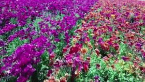 Rainbow Connection! California's Rainbow-Colored Flower Fields Bring in Tourists From All Over!