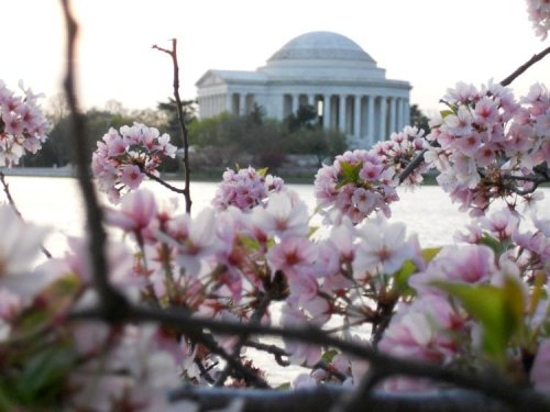 Best Places to See Cherry Blossoms in and near Washington, DC
