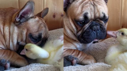 'Cute Ducklings Become Dentists, Chew on Dog's Cheeks & Teeth'