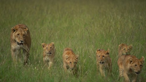 Lioness and cubs walk in tall grass