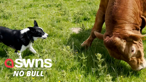 Stubborn Yorkshire bull refuses to cooperate with a herding dog