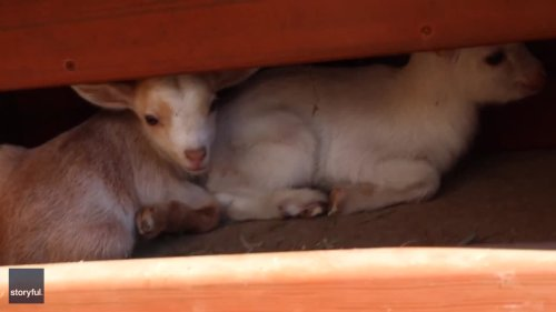Hide and Seek: Cat Helps Search for Goats on Maine Farm