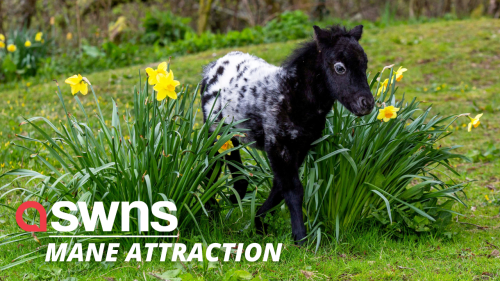 Meet the two-week-old miniature pony who is barely taller than a daffodil (RAW)
