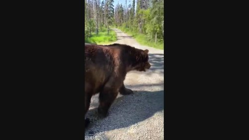 'There Are Bears Here?' Alaskan Bear Turns Around When Faced With Park Sign